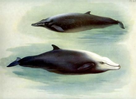 1920 WHALES Sowerby CUVIER Colour Print by Archibald Thorburn